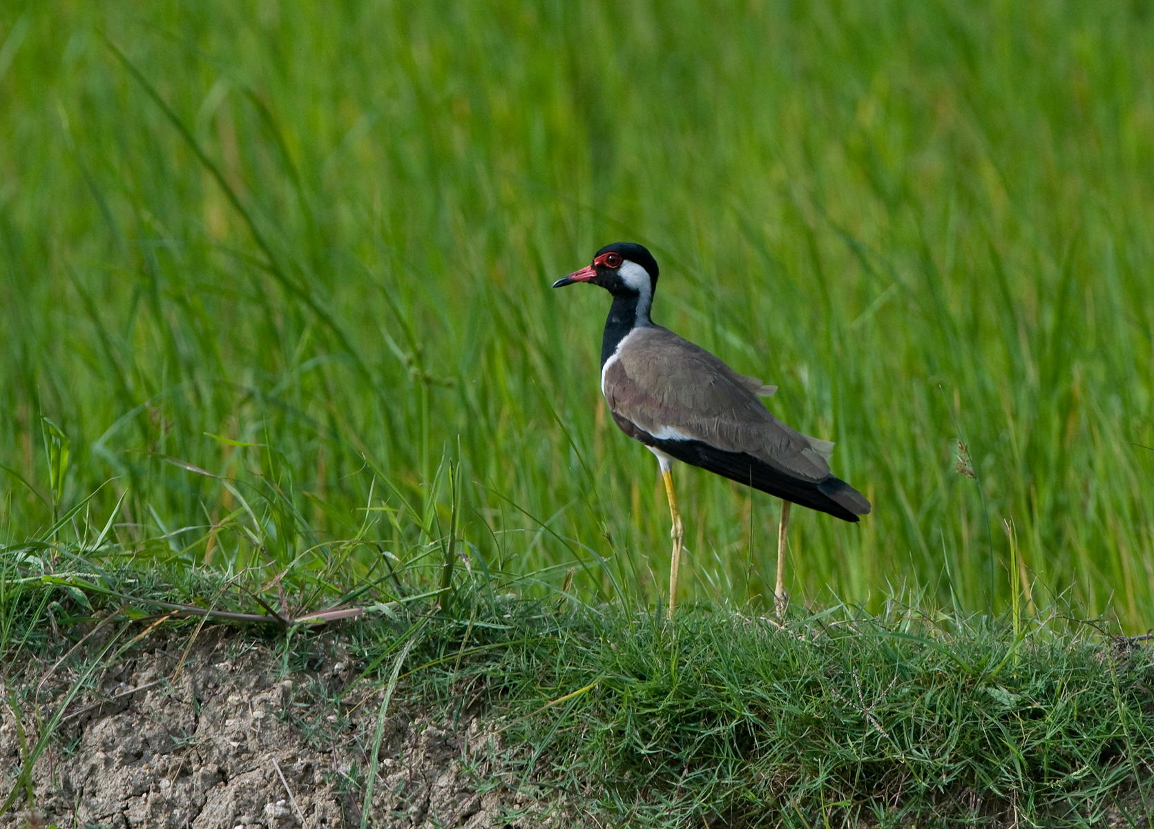 LBL1301341-1200 Red-wattled Lapwing (Vanellus indicus)
